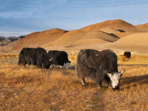 Почему животноводство стало главной отраслью хозяйства монголии кратко