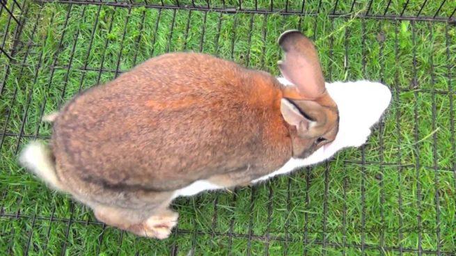 Спаривание кроликов домашних условиях