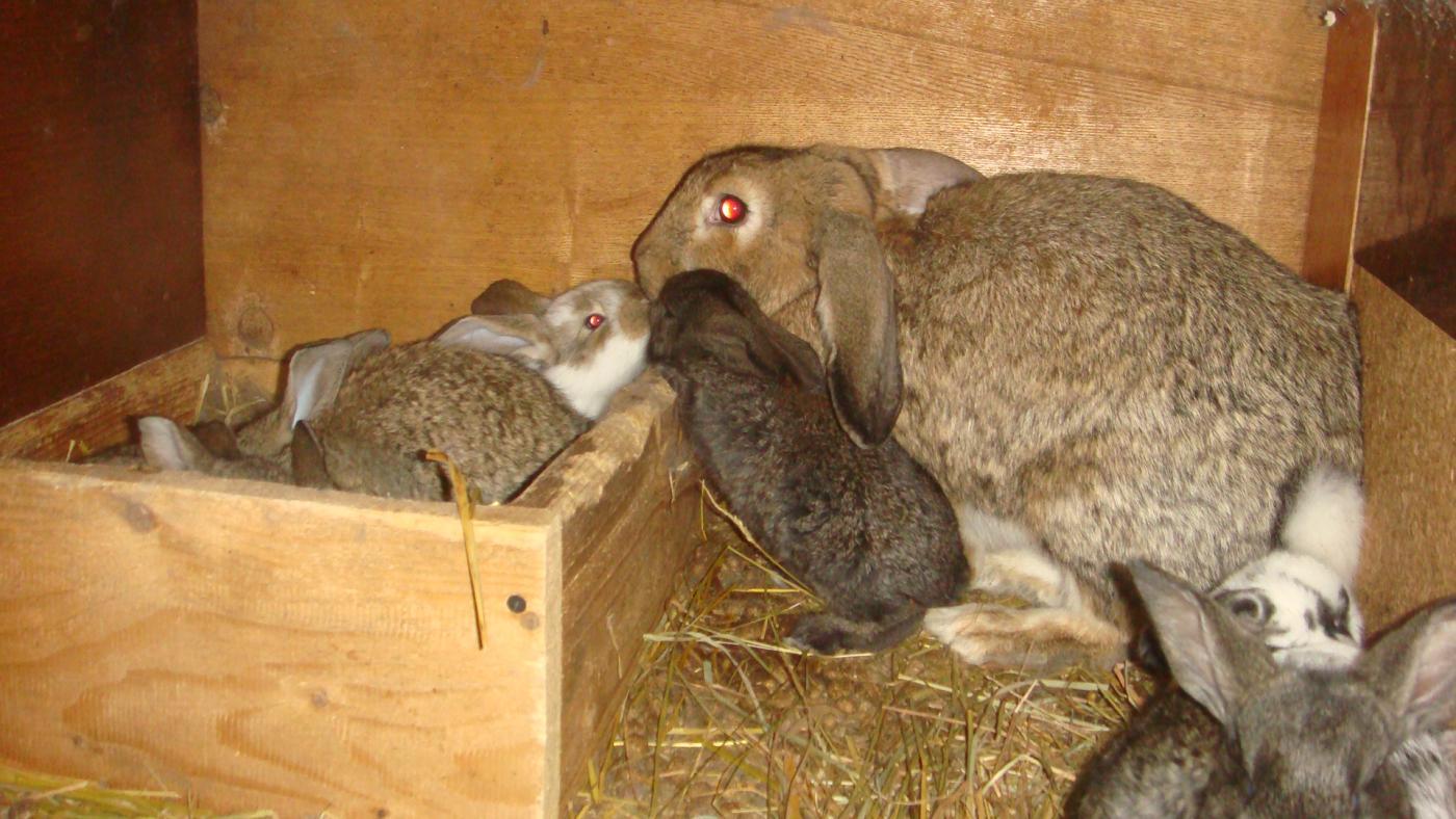Искусственное кормление новорождённых крольчат. Кролики 76