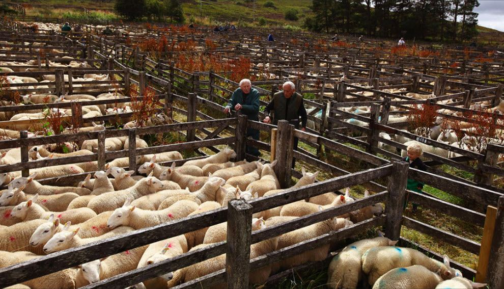 Выращивание овец в загоне 19