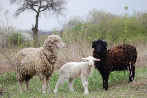 Родоначальник домашней овцы