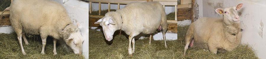 Как определить беременность овцы в домашних условиях