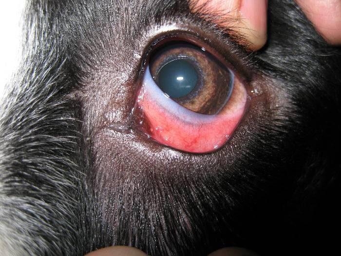 Почему у собаки текут глаза симптомы заболеваний