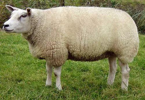 Тексель - порода овец