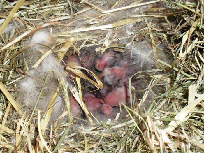 Почему крольчиха разбрасывает крольчат сразу после окрола?