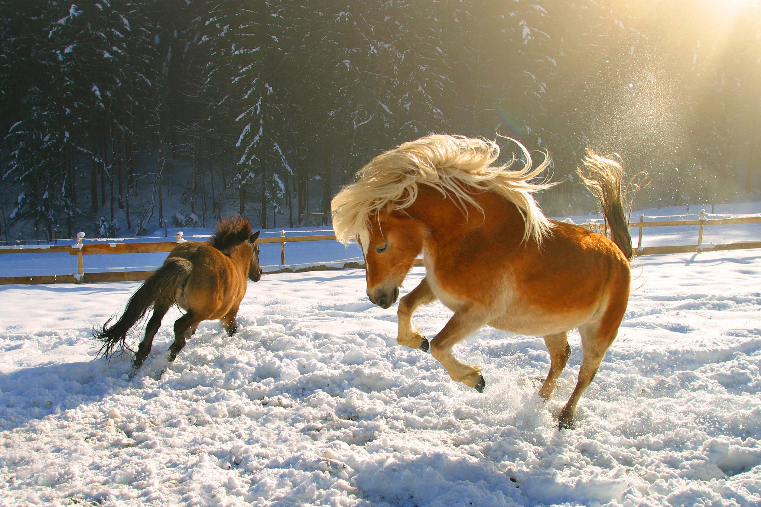 Обои для стола лошади и зима