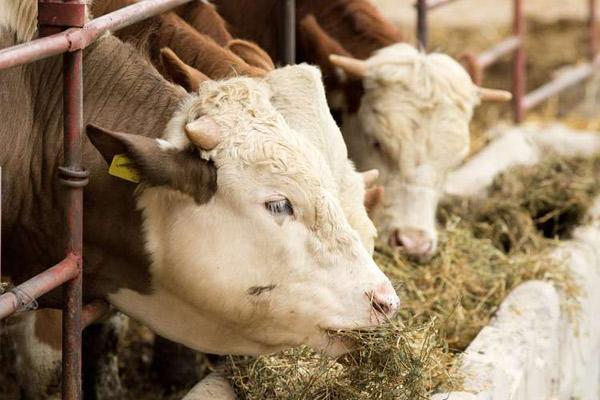 Организация кормления коров на фермах