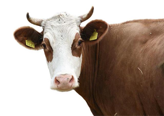 Ацидоз у коров. Симптомы и лечение
