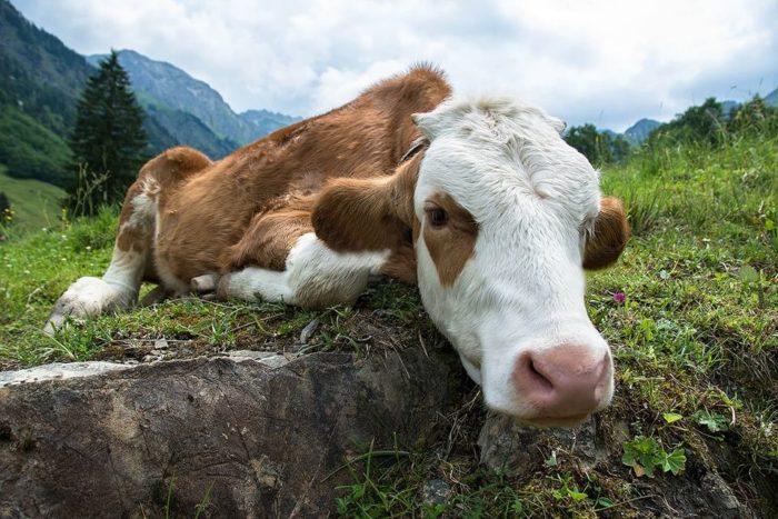 Молочная лихорадка у коров