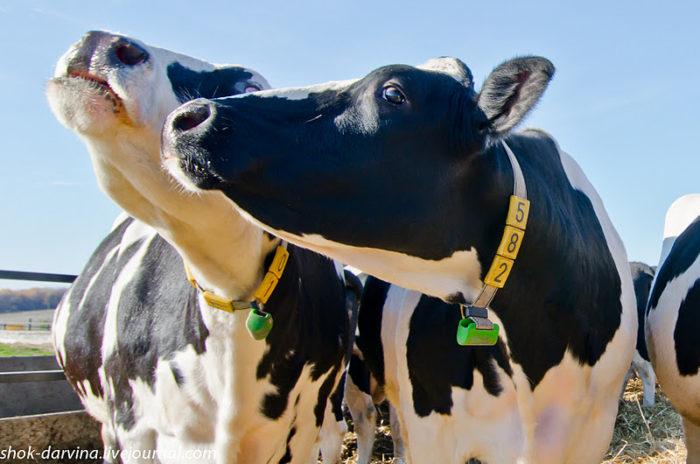 Откуда у коровы берется молоко?