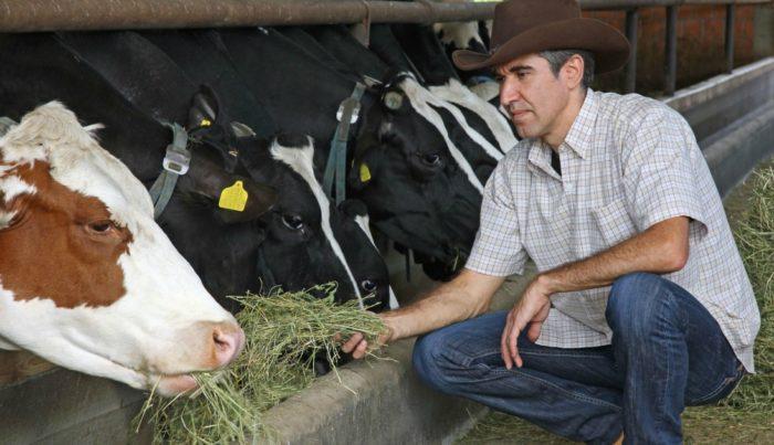 Кормление коров перед отёлом