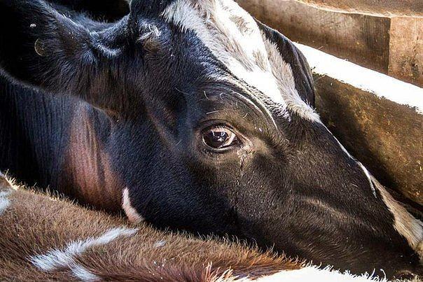 У коровы нет аппетита