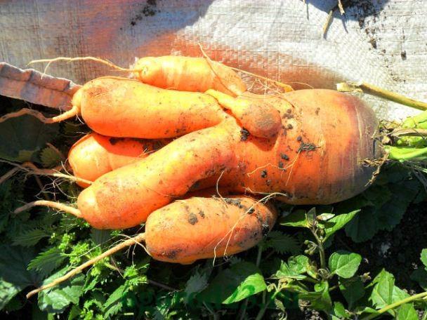Почему морковь рогатая?