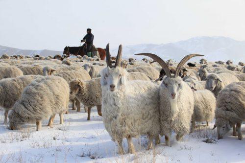 Развитие животноводства в Казахстане