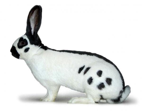 История происхождения кроликов строкачей