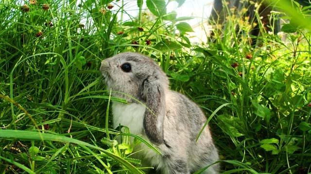 Характеристики шиншиллового кролика