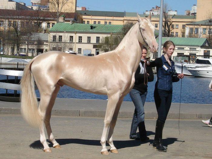 Ахалтекинская лошадь
