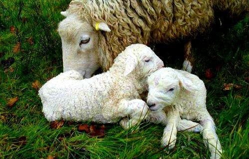 сколько месяцев овца вынашивает ягненка