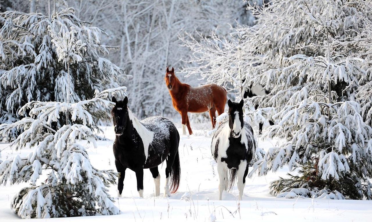 Лошади зимой: уход, заболевания, травмы коней
