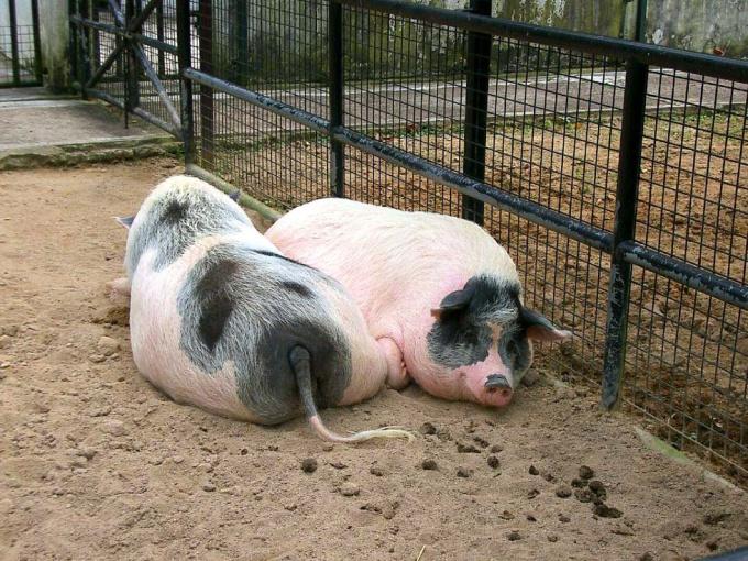 Презентация на тему: Основы свиноводства 20