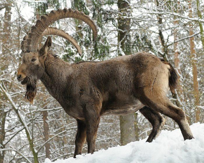 Описание и продуктивность сибирского горного козла