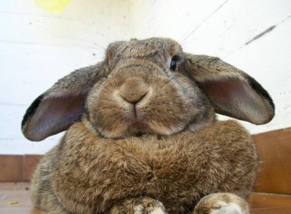 Жир кролика