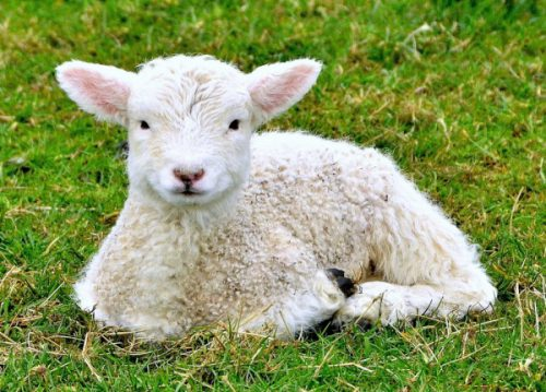 Характеристики белых овец