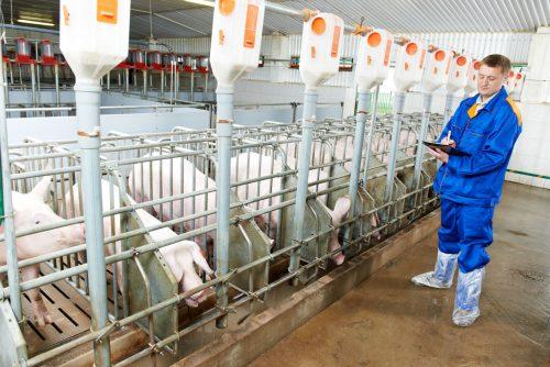 Необходимое оборудование для свиноводства