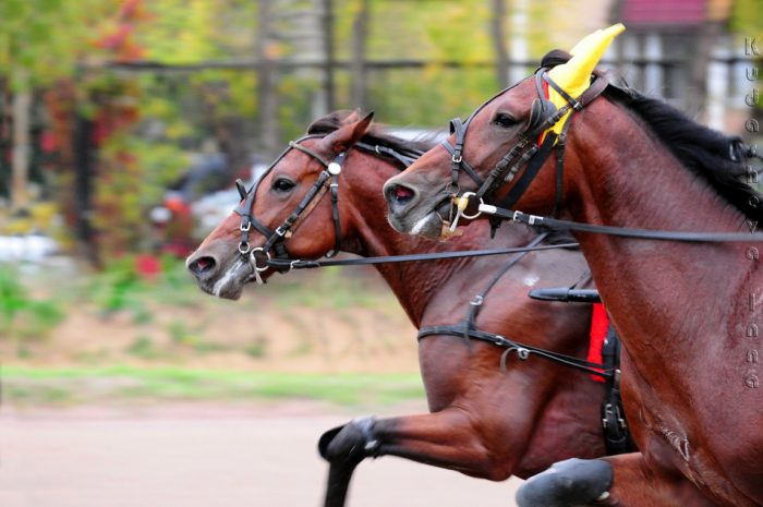 Какие бывают разновидности беговых лошадей?