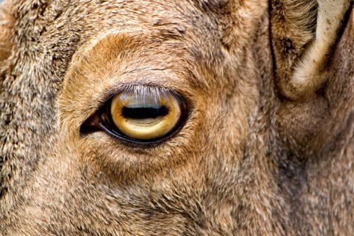 Особенности глаз козы и особенности зрачка