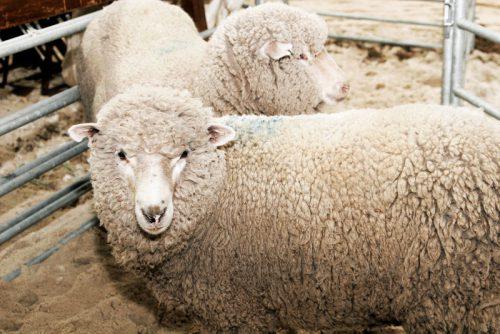 Сколько весит овца и как она набирает вес?