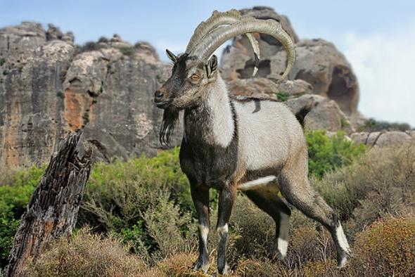 Образ жизни безоарового козла