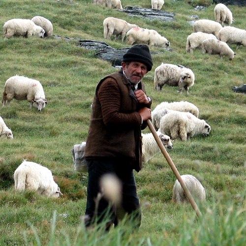 Правила пастбищного овцеводства: как пасти овец?
