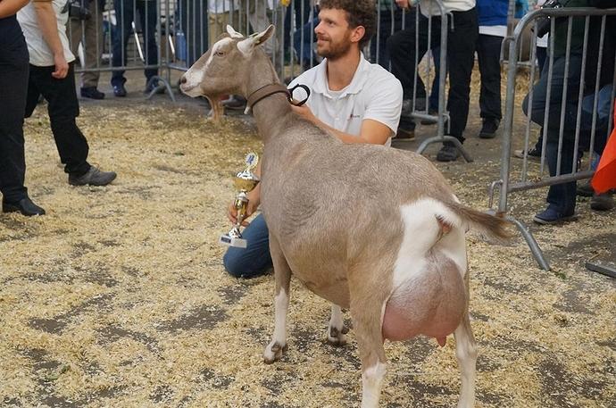 Тоггенбургская порода коз: описание, характеристики