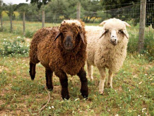Каракульские овцы: типичные признаки, продукция, география
