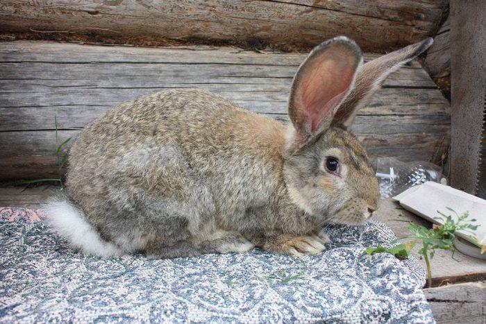 Список кроликов мясных пород