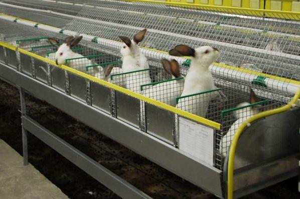 Современное состояние промышленного кролиководства
