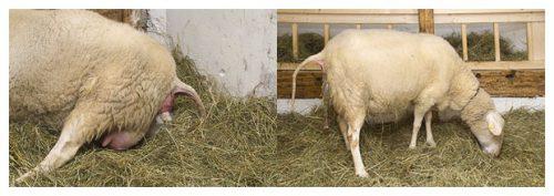 пролена как узнать беременна овца или нет термобелья это