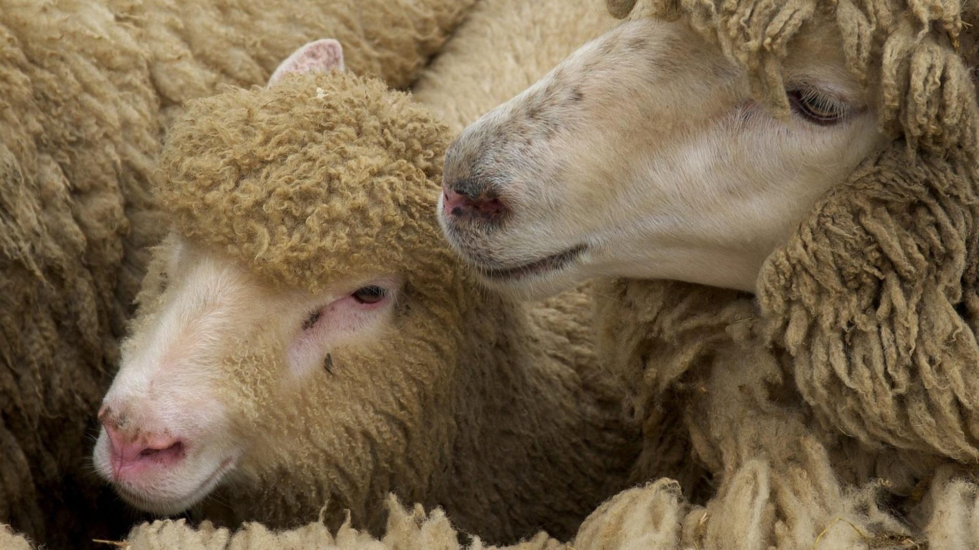 инфекционные болезни овец