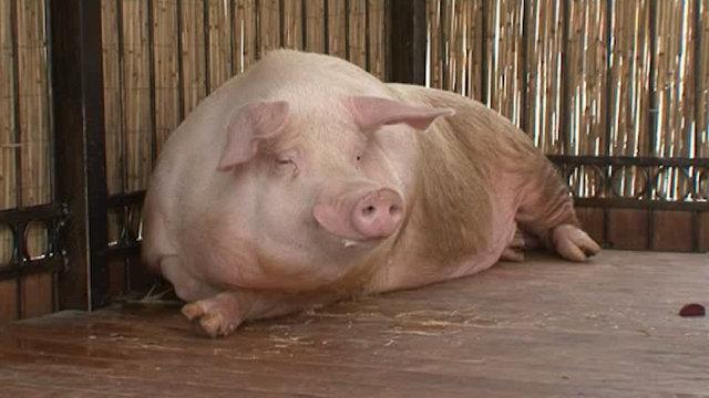 Чем отличается хуй от свиней