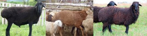 Эдильбаевская порода овец