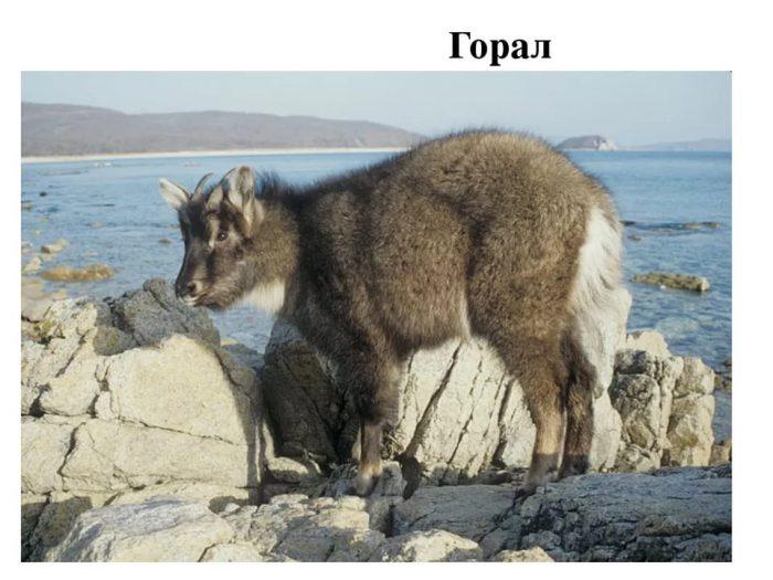 Общее описание гималайских козлов