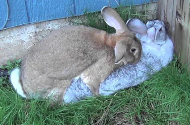 Сперма у кроликов