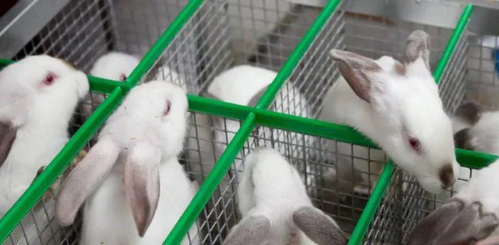 Общее описание кроликов Хиколь и Хиплус