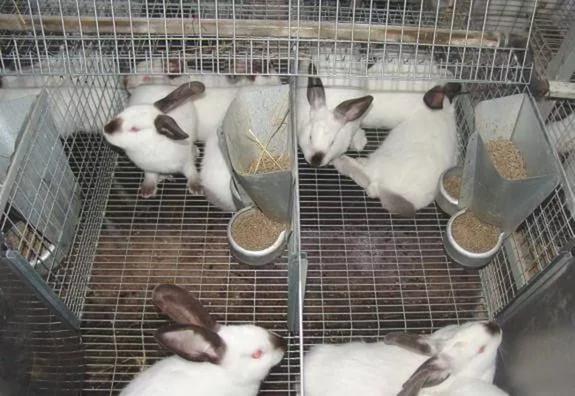 Бизнес на выращивание кроликов 173