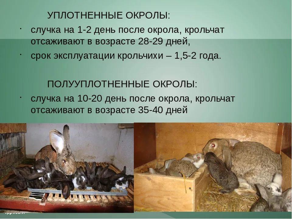 с какой переодичностью случают кроликов