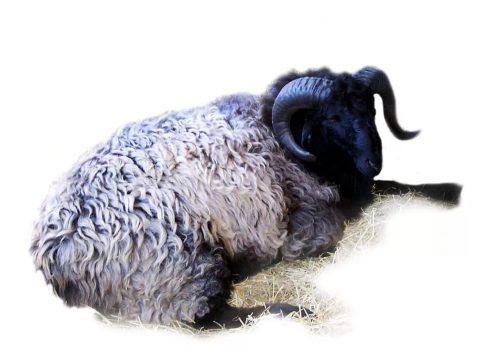 История и описание каракульской породы овец