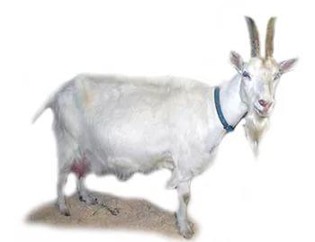 Показатели продуктивности горьковской козы