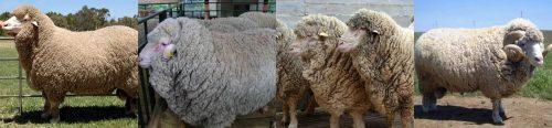 Описание породы овец Мериносы