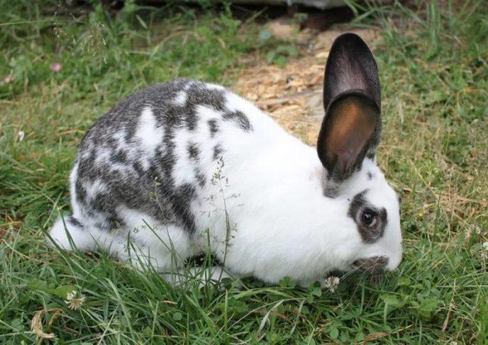Как ухаживать за кроликами породы Бабочка?